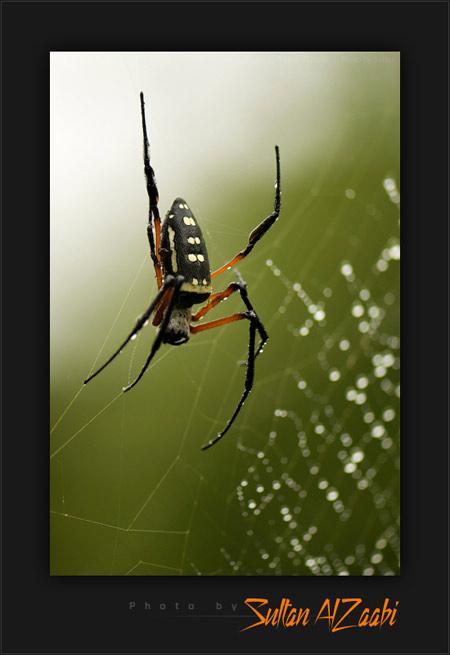 عنكبوت سام